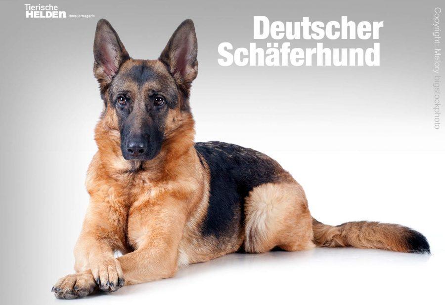 10-20-rassehund-deutscher-schaeferhund