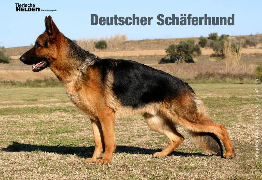 10-21-wesen-deutscher-schaeferhund