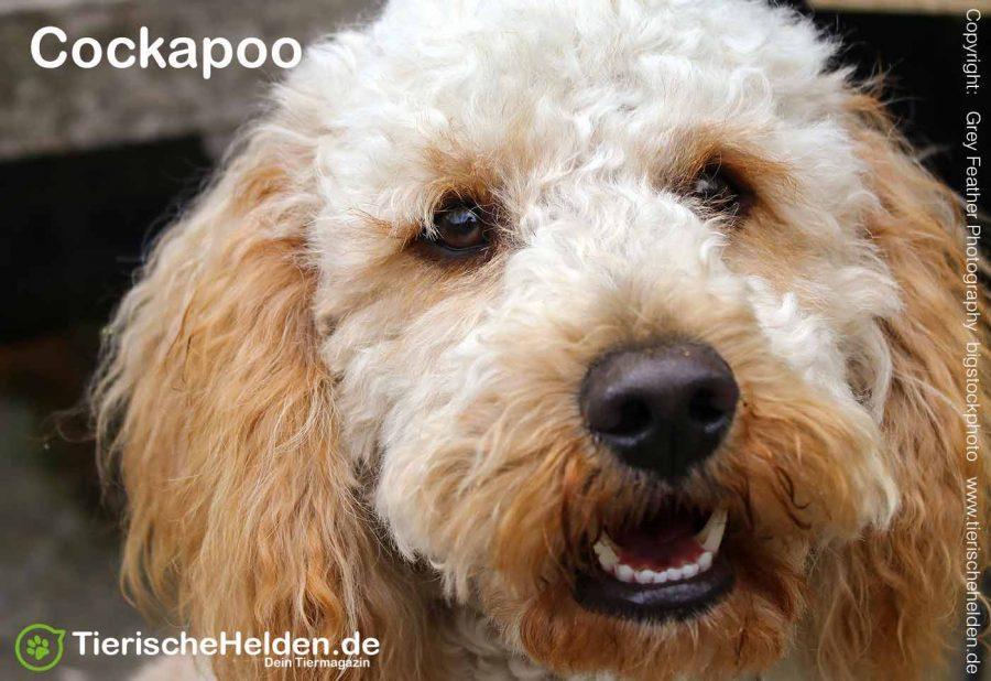 Cockapoo-Hund