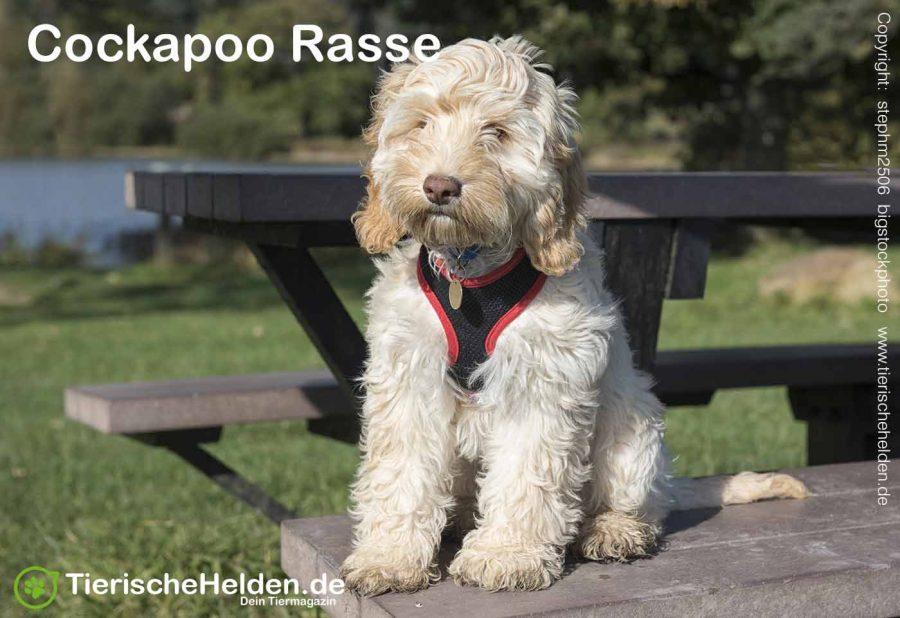 Cockapoo-Hunderasse-hund