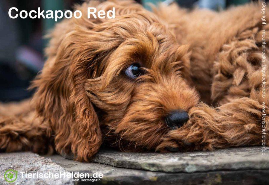 Cockapoo-Hybridhund-rot
