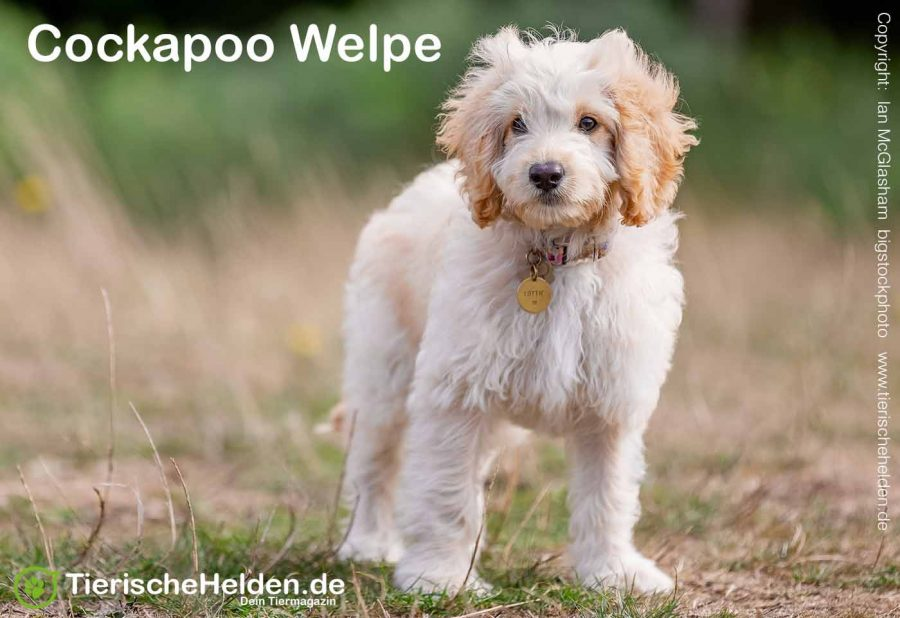 Cockapoo-Welpe