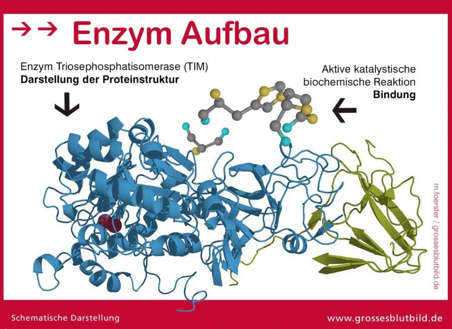 Enzym-Aufbau