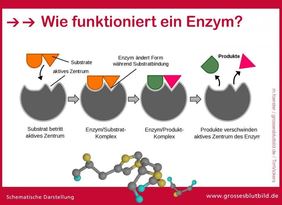 Enzym-Funktionsweise