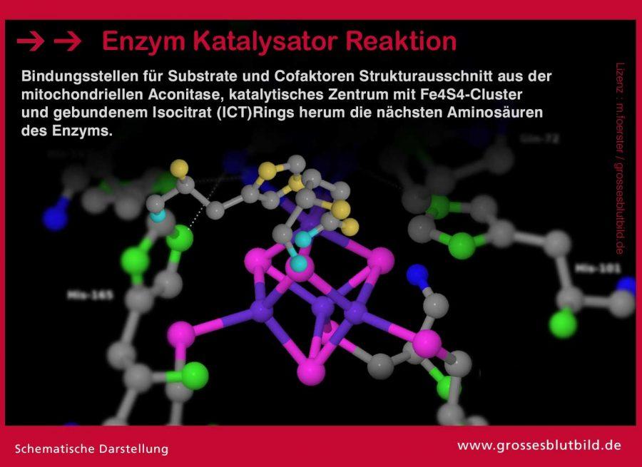 Enzym-Katalysator-Reaktion