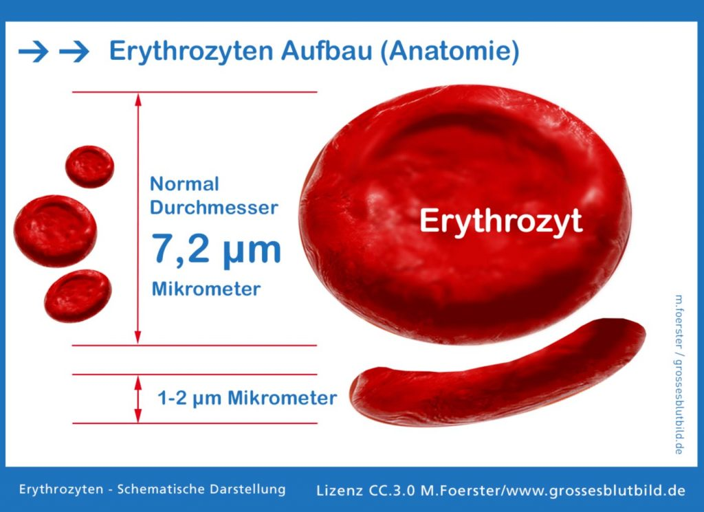 Erythrozyt