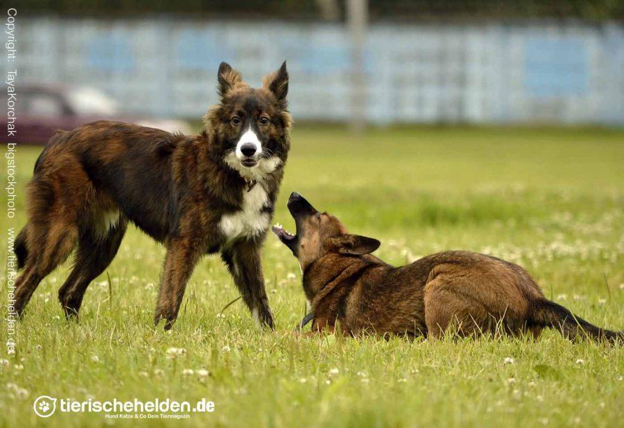 Imponieren-Haltung-Hund