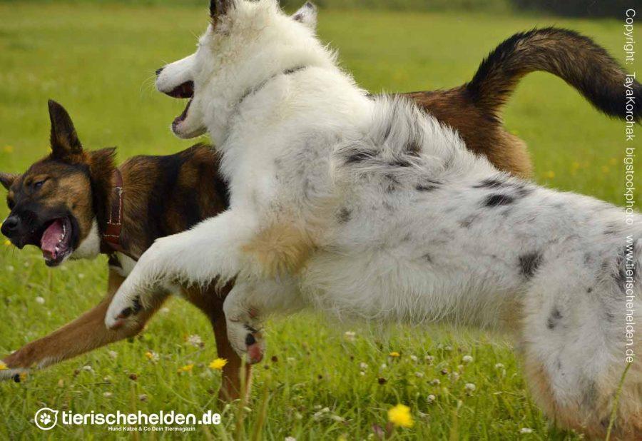 Imponiergehabe-Haltung-Hund