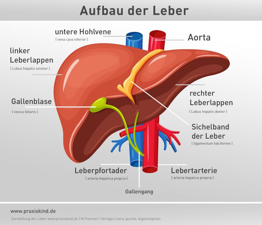 Leber-Anatomie