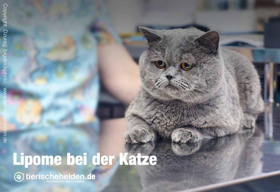 Lipome-bei-der-Katze
