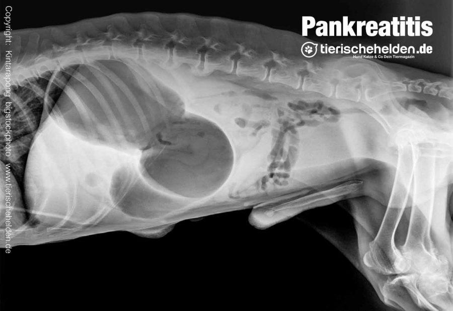 Pankreatitis-Hund