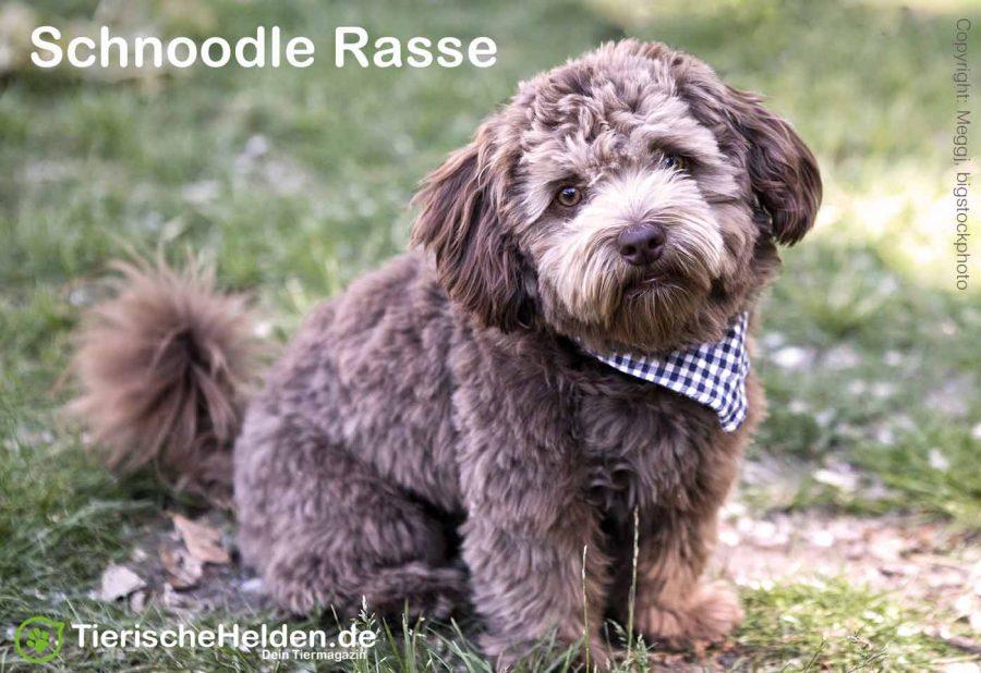 Schnoodle-Hunde-Rasse