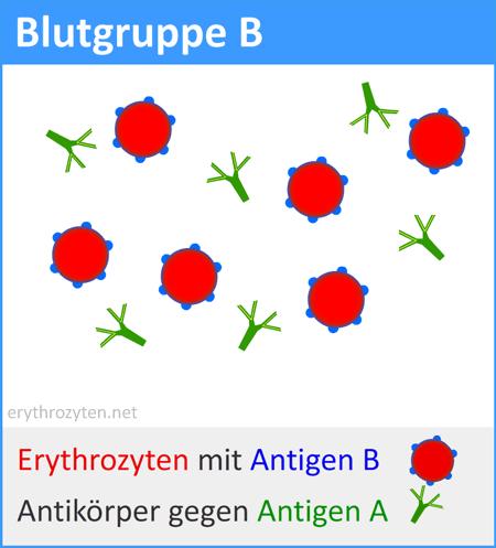 blutgruppe-b
