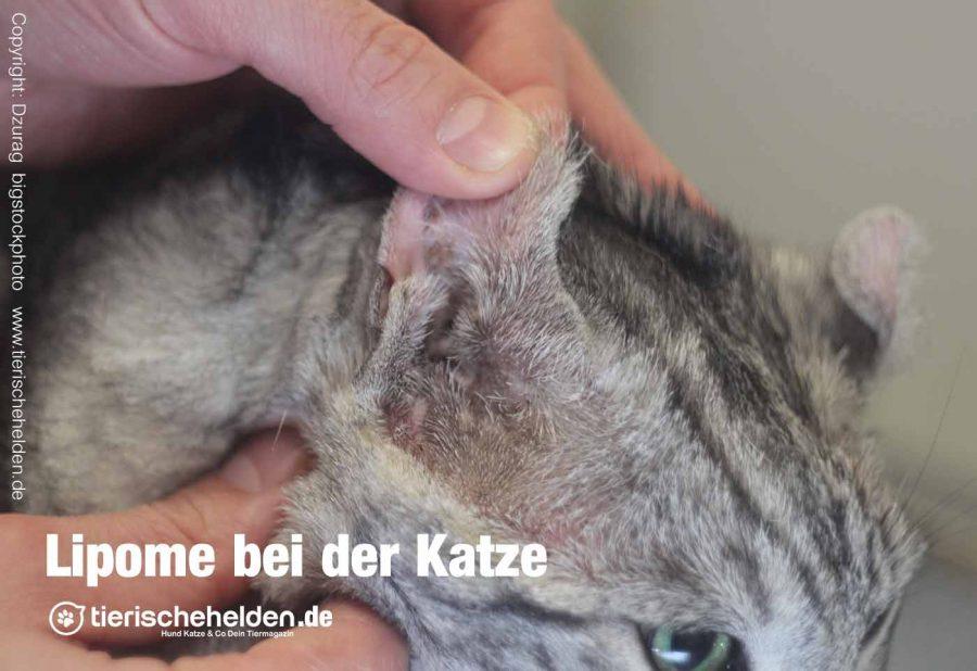 fettknubbel-bei-der-Katze