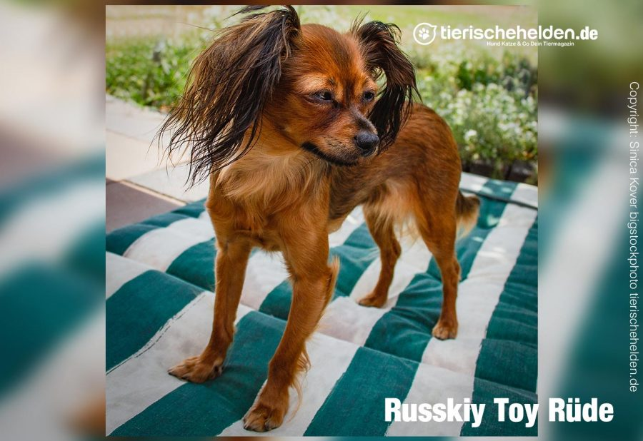 russky-toy-hunderasse